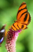 Banded Orange Butterfly III