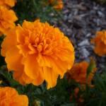 """""""Orange Flowers"""" by zackadams"""