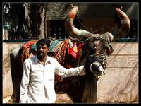 Nandi Bail -The Bull