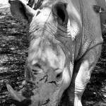 """""""Rhinoceros"""" by kaydadesigns"""