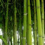 """BamBoo"" by patty_colmer"