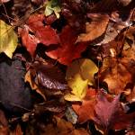 """DAVEY WOODS LEAVES"" by RichardBaumer"