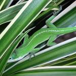 """""""Anole Hiding In Spider Plant"""" by lucyna"""