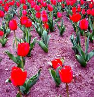 Tulips at The Captial