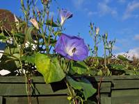 Morning glory with dew and bee