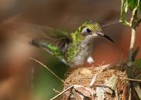 female Emerald Hummingbird