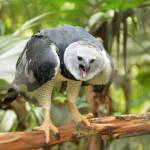 """harpy eagle"" by taylors1"