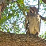 """Sleeping Owl"" by patgleasonphotography"