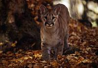 cougar yearling 2