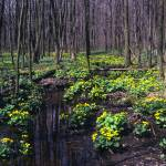 """fowler woods marsh marigolds"" by RichardBaumer"