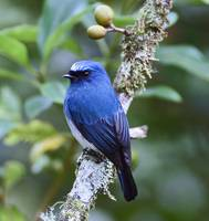 Indigo flycatcher.