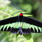 """Rajah Brookes birdwing (troides brookiana)"" by wildpixelsteve"