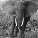 """African elephant (loxodonta africana)"" by wildpixelsteve"