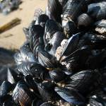 """Mussels 4"" by NathanBowers"