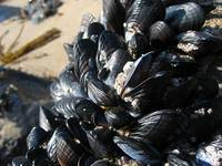 Mussels 4