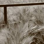 """Gateway to the Wheat Field"" by allanprice"