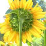 """""""Sun Flower"""" by K4Studios"""