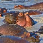 """hippos relax"" by wildpixelsteve"