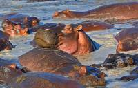 hippos relax