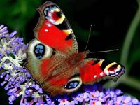 The Peacock Butterfly