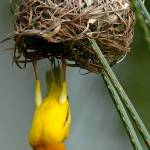 """Male golden palm weaver (Ploceus bojeri) displayin"" by global_nomad1"