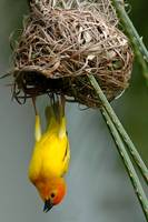 Male golden palm weaver (Ploceus bojeri) displayin