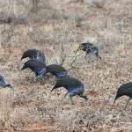"""Vulturine guineafowl in Samburu National Park, Ken"" by global_nomad1"