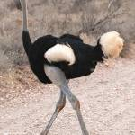 """Somali ostrich (male) in Samburu National Park, Ke"" by global_nomad1"