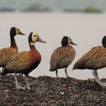 """Colony of white-faced whistling ducks, Burundi."" by global_nomad1"