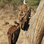 """Whitebacked vulture, Samburu, Northern Kenya."" by global_nomad1"
