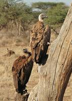 Whitebacked vulture, Samburu, Northern Kenya.