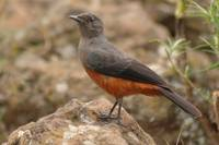 Female Mocking Cliff Chat (Thamnolaea cinnamomeive