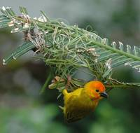 Golden Palm Weaver (Ploceus bojeri) 19