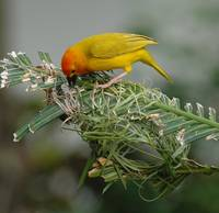 Golden Palm Weaver (Ploceus bojeri) 14