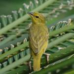 """Golden Palm Weaver - Female (Ploceus bojeri)"" by global_nomad1"