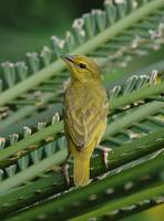 Golden Palm Weaver - Female (Ploceus bojeri)