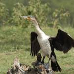 """""""White-necked commorant (Phalacrocorax carbo)"""" by global_nomad1"""