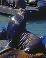 San Francisco Pier 39  Sea Lions