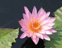 Pink Water Lilly IMG_0006