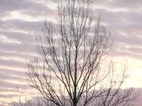 Tree in a purple  winters dawn