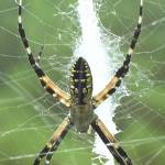 """The Banana Spider"" by kellygreene2005"