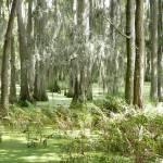 """""""Trimbles Cypress Swamp"""" by WTrimblesArt"""