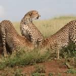 """""""Cheetahs"""" by dbhalbur"""