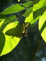 Tiger Swallowtail Butterfly, Hiding In The Leaves