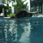 """Black Lab in Pool"" by christina_frankel"