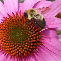 Bumblebee Art Prints & Posters by Trina Drake