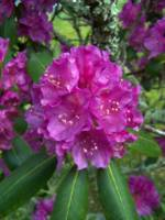 Rhododendron, Great Smoky Mountains