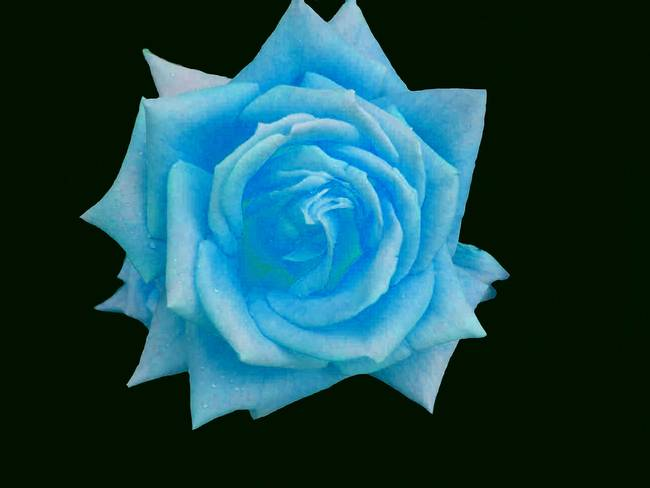 LIGHT BLUE ROSE. by Christopher Rowlands