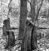 3 stumps & a tree