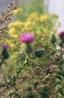 Thistle-Horizontal